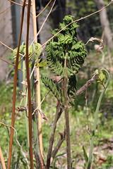 自然環境保全センターのゼンマイ(Royal fern, Nature Preservation Center, Kanagawa, Japan)