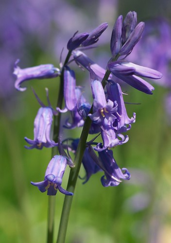 Bluebells by Samantha Halliwell