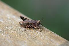 生田緑地のヒシバッタ?(Grasshopper, Ikuta Ryokuchi Park, Kawasaki, Kanagawa, Japan, 2011)