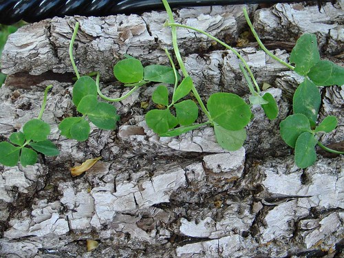 4LeafClovers