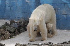Eisbärin Blanche mit ihrer Tochter Qannik in der Monde Sauvage Safari in Aywaille