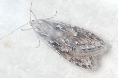 Aurora Semioscopis, Semioscopis aurorella
