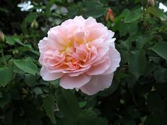 Rose Mary Magdalene バラ メアリーマグダリン