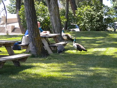 Moochy Peacocks Working The Picnic Tables