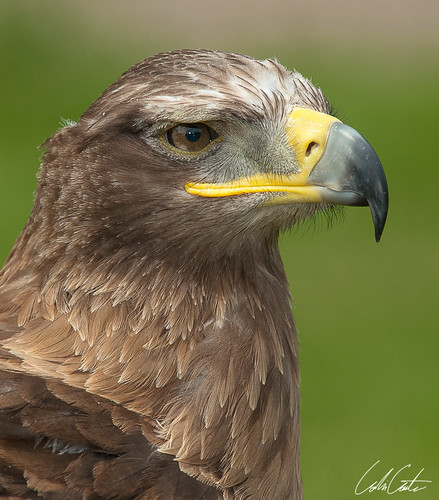 Steppe Eagle by TheApertureMan