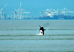 Breaching Whale near Vancouver