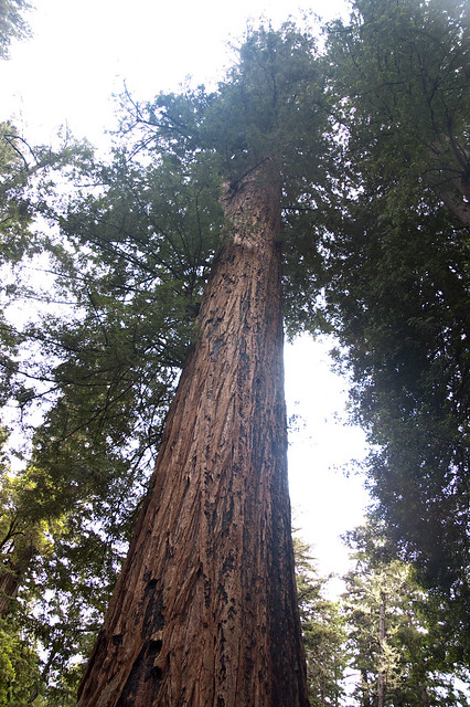 Big Basin Father of Forest Top