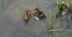 Ducks_0001.jpg by ladywriter47