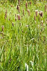 Plantago-altissima_1
