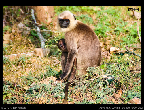 Langur with young one | Kabini
