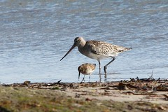 Bar-tailed Godwit (Limosa lapponica) & Dunlin (Calidris alpina), first-winter juvenile