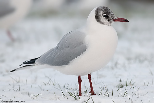 Black-headed Gull, adult, active head moult and pink body