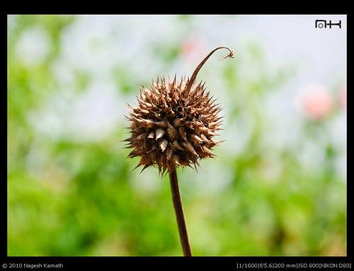 A peculiar seed | Kabini