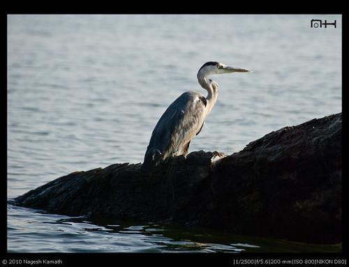 Grey Heron | Kabini