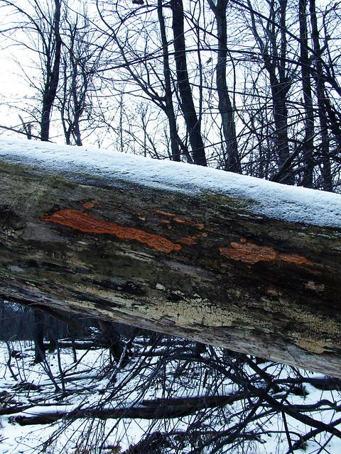 fungal log
