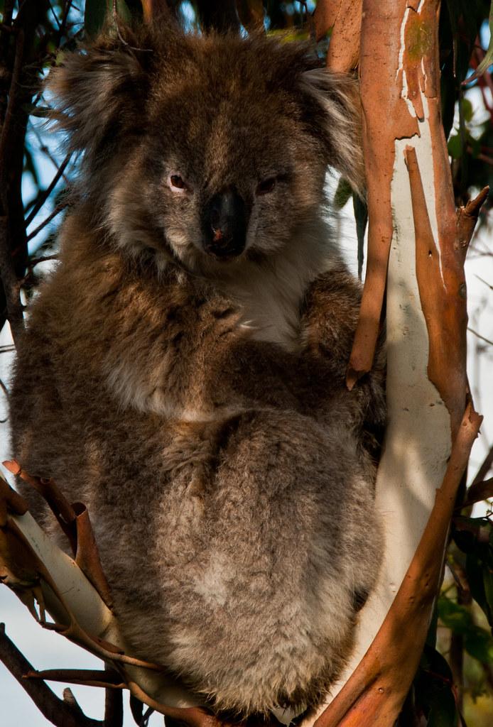 Koala Bear at Mt. lofty