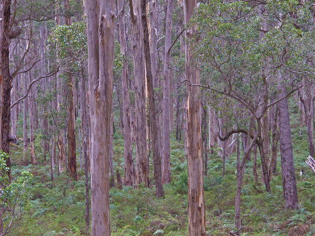 Karri forest south of Margaret River