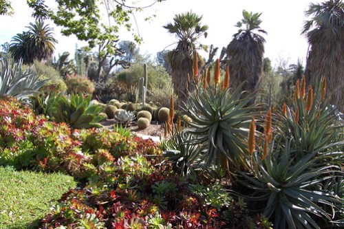 Aloes and Aeoniums.