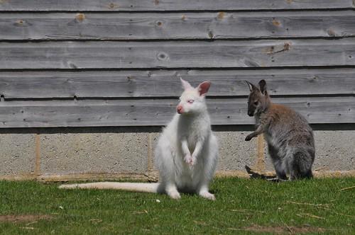 Bennett-Wallaby im Hamerton Zoo Park