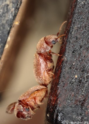 copula of tobacco beetles in dry nutmeg - at t...