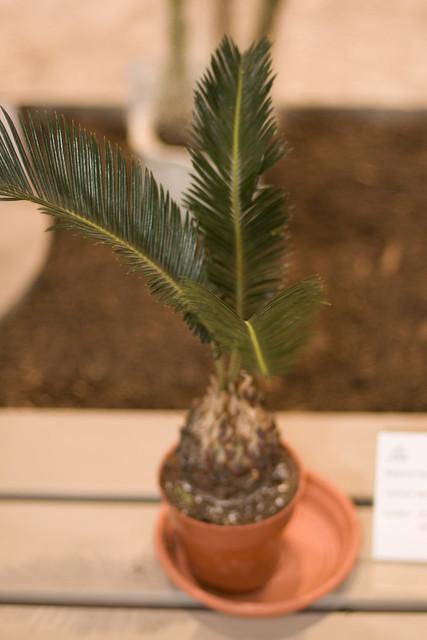 Cycas revoluta - Not a Palm