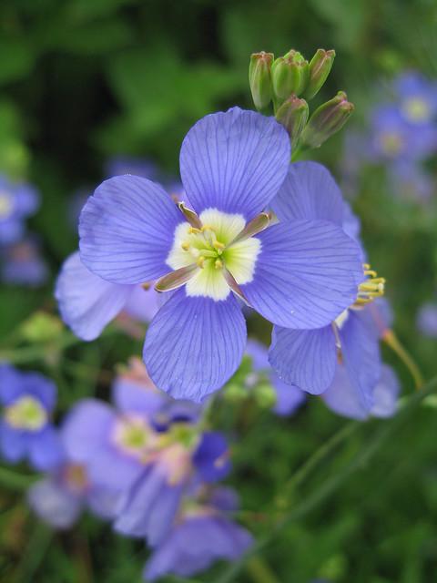 heliophila_longifolia_2