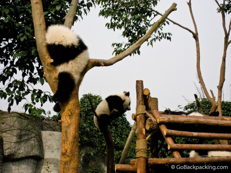 panda bear essay Back to animals what is a giant panda a giant panda is a black and white bear that's right the giant panda really is a bear and is classified in the bear family ursidae.