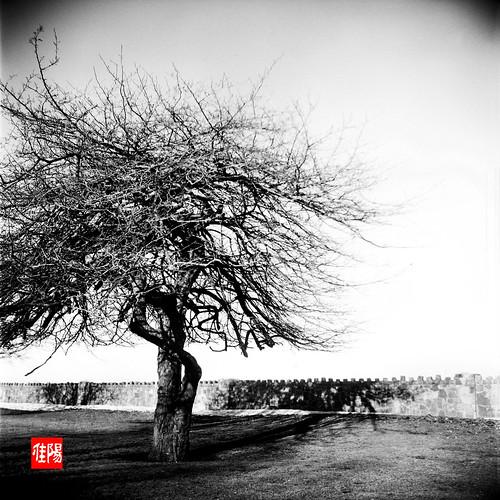 KodakDuaflexIV CHI Acros100 CrazyTree01B