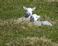 Cute lambs  5
