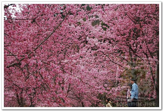 武陵農場賞櫻花?媲美日本賞櫻景點?新增103年武陵農場疏運措施