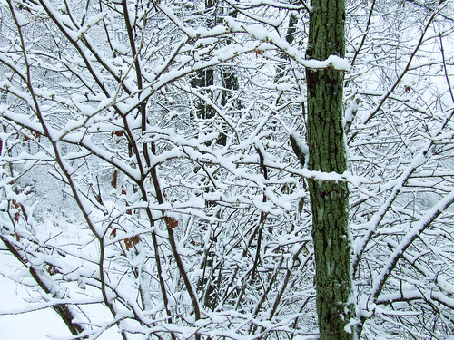 lichenous tree in snowstorm 5