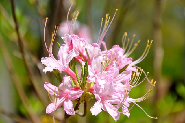 native azalea 2