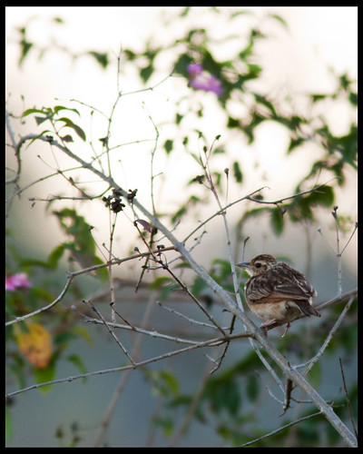 Singing Bush-lark