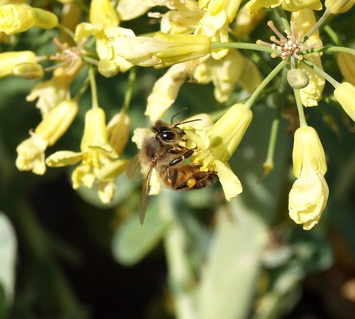 Honey Bee on Garden