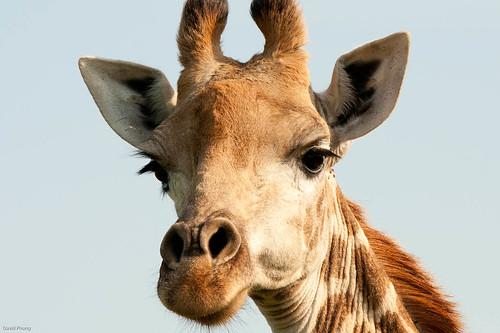 giraffe mmm