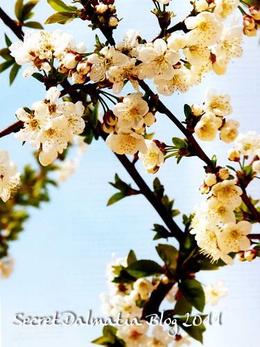 Marasca cherry in full bloom