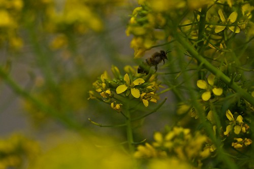 Bee in Broccoli