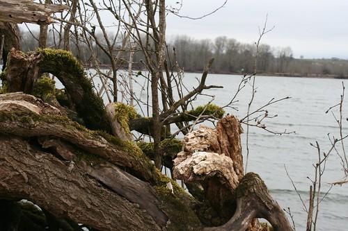 Living driftwood