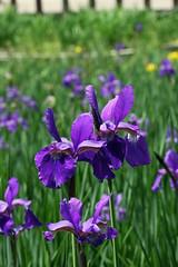 泉の森のアヤメ(Iris, Izuminomori park, Yamato, Kanagawa, Japan)