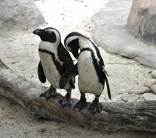 African Penguins, Lowry Park Zoo, Tampa, Fla., April 10, 2011