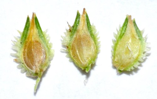 Cyperus metzii