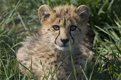 National Zoo's Cheetah Cubs: April