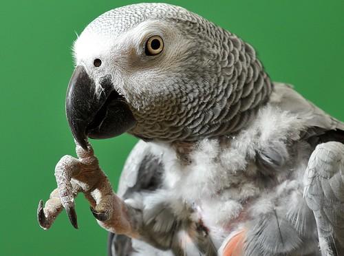 plucking grey