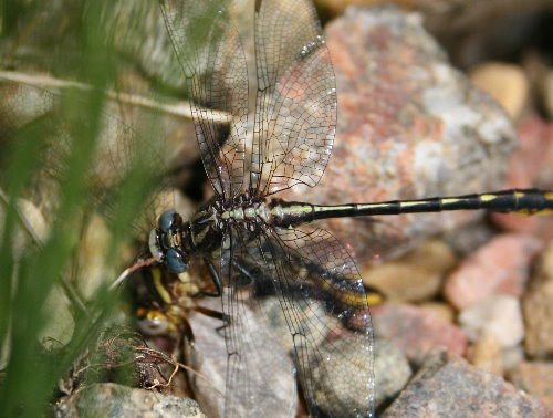 clubtail attacking whiteface