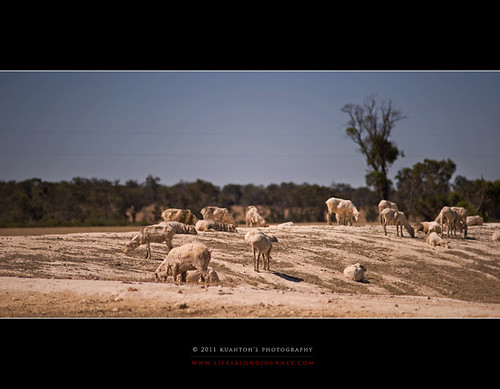 Archives_2005_to_Present #139 - Naked Sheeps on Naked Lands by kuantoh
