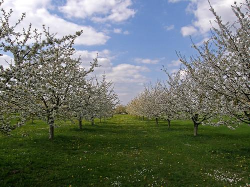 Cherry blossom near Kalchreuth, Franconia, Germany