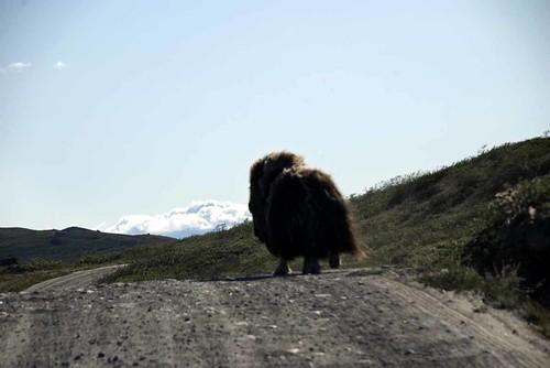 Mt. Muskox