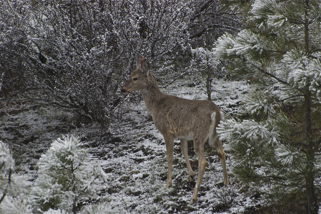 Puzzled whitetail