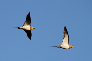 2011_06_15 PO - Pin-tailed Sandgrouse (Pterocles alchata) 02 by Mike at Sea