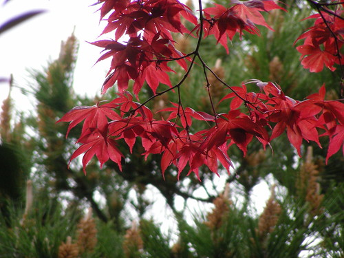 red acer in a green world